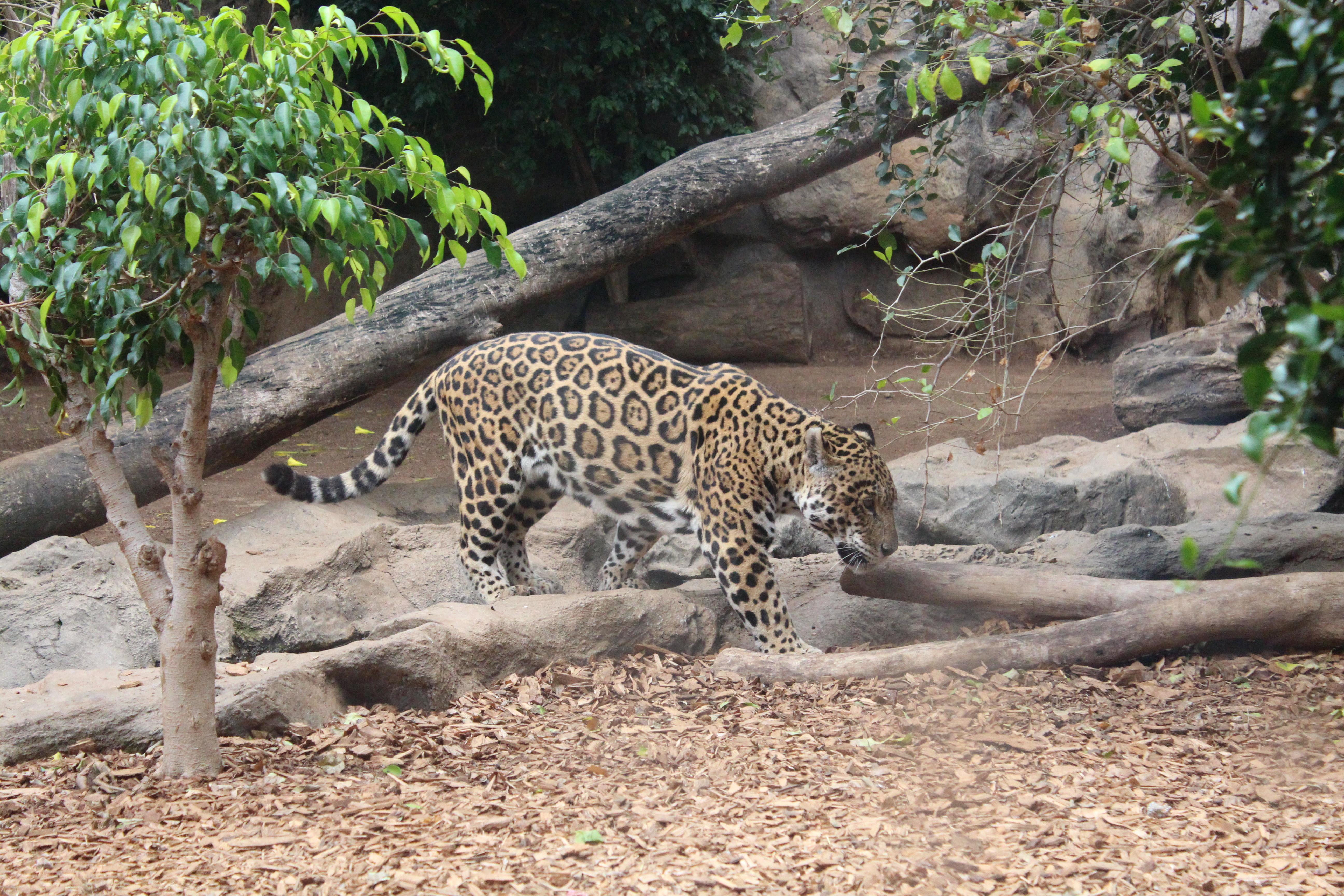 A Jaguar taking a walk amongst the rocks and foliage at Loro Parque.